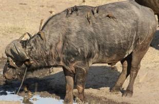 Buffalo_Africa_Wiki