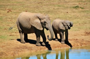 African-Elephant-Pixabay