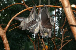 Kasanka_Fruit_Bat_Wiki